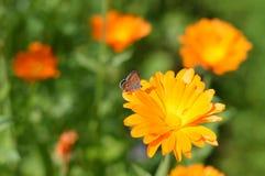 Pequeña mariposa en un calendula de la flor Fotografía de archivo