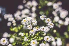 Pequeña mariposa hermosa en la flor de la manzanilla Cierre para arriba imagen de archivo libre de regalías