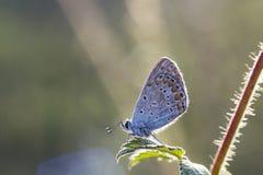 Pequeña mariposa Plebejus argus en la hoja Foto de archivo libre de regalías