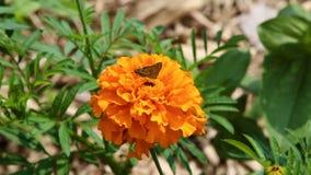 Pequeña mariposa que recolecta el polen en la flor anaranjada almacen de metraje de vídeo