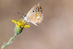 Pequeña mariposa que sorbe en una flor amarilla Foto de archivo