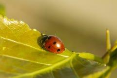 Pequeña mariquita roja del escarabajo en hierba verde Foto de archivo libre de regalías
