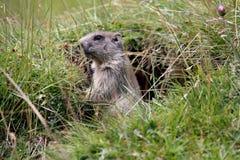 Pequeña marmota Fotografía de archivo