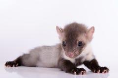 Pequeña marta animal Fotografía de archivo