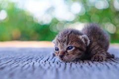 Pequeña mentira del modelo del tigre del gatito Imagen de archivo libre de regalías