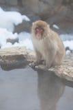 Mono japonés de la nieve que mira la cámara Fotos de archivo libres de regalías