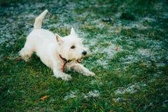 Pequeña montaña del oeste Terrier blanco - Westie, Westy Fotos de archivo