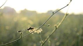Pequeña mosca del dragón en rama verde en la luz de la puesta del sol almacen de metraje de vídeo