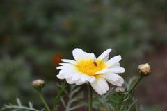 Pequeña mosca en la flor Imagen de archivo libre de regalías