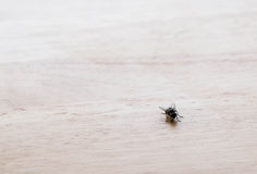 Pequeña mosca en la tabla de madera en abajo la esquina correcta Imagen de archivo