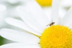 Pequeña mosca en un flor de la margarita Fotografía de archivo