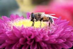 Pequeña mosca negra en las flores rosadas Fotografía de archivo