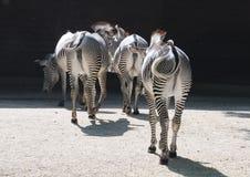Pequeña multitud de las cebras de GrévyImágenes de archivo libres de regalías