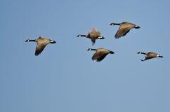 Pequeña multitud de los gansos de Canadá que vuelan en un cielo azul imagenes de archivo