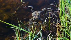 Pequeña nadada agradable de la rana en superficie de la charca almacen de metraje de vídeo