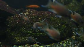 Pequeña nadada del auratus de Melanochromis de los pescados del primer en acuario con otros pescados metrajes