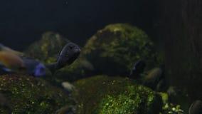 Pequeña nadada exótica de los pescados del primer en acuario metrajes