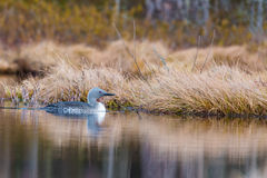 Pequeña natación del bribón en el pequeño lago en Suecia el 8 de abril de 2017 imagen de archivo