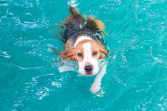 Pequeña natación del perro del beagle en la piscina Foto de archivo libre de regalías