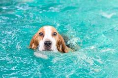 Pequeña natación del perro del beagle en la piscina Imagen de archivo libre de regalías