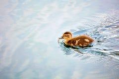 Pequeña natación linda del anadón del bebé foto de archivo libre de regalías