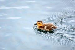 Pequeña natación linda del anadón del bebé fotografía de archivo