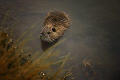Pequeña nutria en el lago Imagenes de archivo