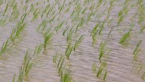 Pequeña oscilación de los brotes del arroz en tierras de labrantío Foto de archivo