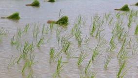 Pequeña oscilación de los brotes del arroz en tierras de labrantío Fotos de archivo