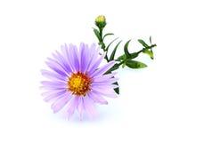 Pequeña púrpura del aster imagen de archivo