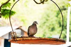 Pequeña paloma del pájaro o de la cebra, Fotos de archivo