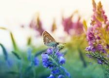 Pequeña paloma hermosa de la mariposa que se sienta en un surr del claro del verano imagenes de archivo