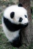 Pequeña panda linda Imagen de archivo libre de regalías