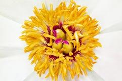 Pequeña peonía de la flor. Imagen de archivo libre de regalías