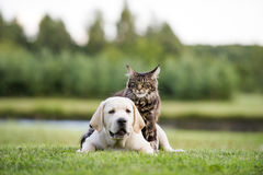 Pequeña pequeña amistad melenuda linda del gatito y del perrito foto de archivo libre de regalías