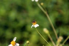 Pequeña perca de las abejas del insecto en la flor de la margarita Fotos de archivo libres de regalías