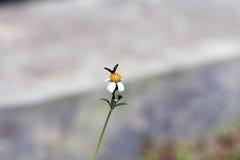 Pequeña perca de las abejas del insecto en la flor de la margarita Foto de archivo libre de regalías