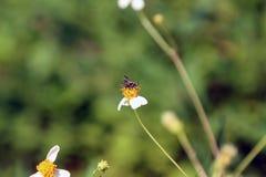 Pequeña perca de las abejas del insecto en la flor de la margarita Imagen de archivo libre de regalías