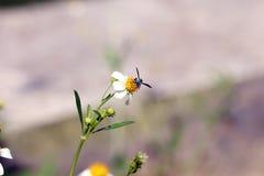 Pequeña perca de las abejas del insecto en la flor de la margarita Imágenes de archivo libres de regalías