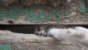 Pequeña pierna del gatito a través del viejo agujero de madera de la puerta almacen de video