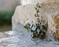 Pequeña planta de la hiedra que crece de una grieta en la esquina de una piedra su Fotos de archivo