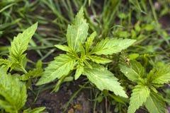 Pequeña planta de las variedades de la hierba del cáñamo, cáñamo médico que crece exterior imágenes de archivo libres de regalías