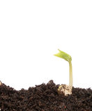 Pequeña planta de semillero de la haba Fotos de archivo libres de regalías