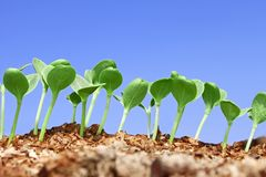Pequeña planta de semillero de la sandía contra el cielo azul Imagen de archivo