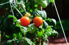 Pequeña planta de tomate fotos de archivo