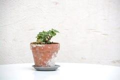 Pequeña planta del geranio en pote de la terracota imagenes de archivo