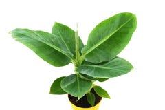 Pequeña planta del plátano Fotos de archivo libres de regalías