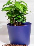 Pequeña planta en conserva del cafeto A aislada en blanco Fotografía de archivo libre de regalías