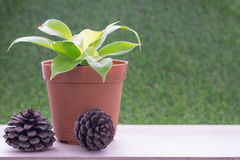Pequeña planta en maceta y fruta de árbol seca de pino Foto de archivo