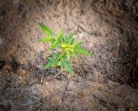 Pequeña planta joven del árbol indica del Azadirachta Fotografía de archivo